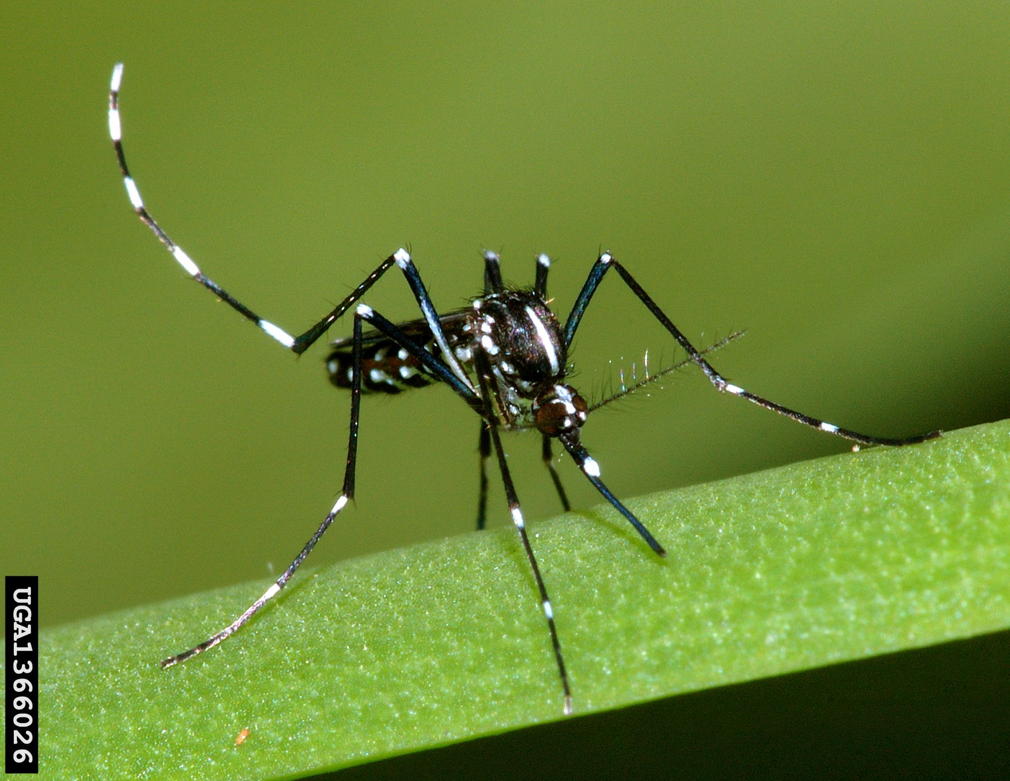 Image of an Asian Tiger Mosquito on a plant stem. Susan Ellis, Bugwood.org