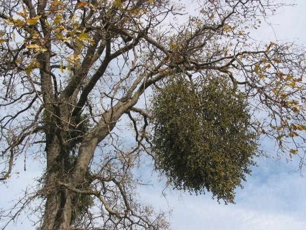 Figure 1. When pruning out mistletoe, cut back to the branch collar or to a secondary branch to help the tree recover.