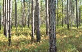 Figure 2. Longleaf pine stand burned every 2 years in the growing season.