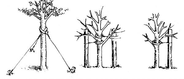 Diagram for staking a tree