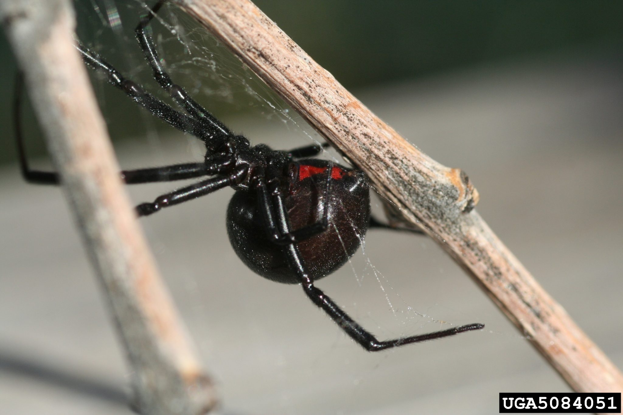 Black Widow Spider - Whitney Cranshaw, Colorado State University, Bugwood.org