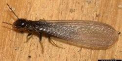 Image of a Termite -Gary Alpert, Harvard University, Bugwood.org