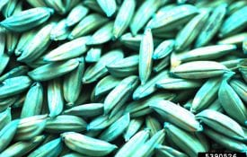 Rice Seed Treated with Fungicide, blue green in color. Donald Groth, Louisiana State University AgCenter, Bugwood.org