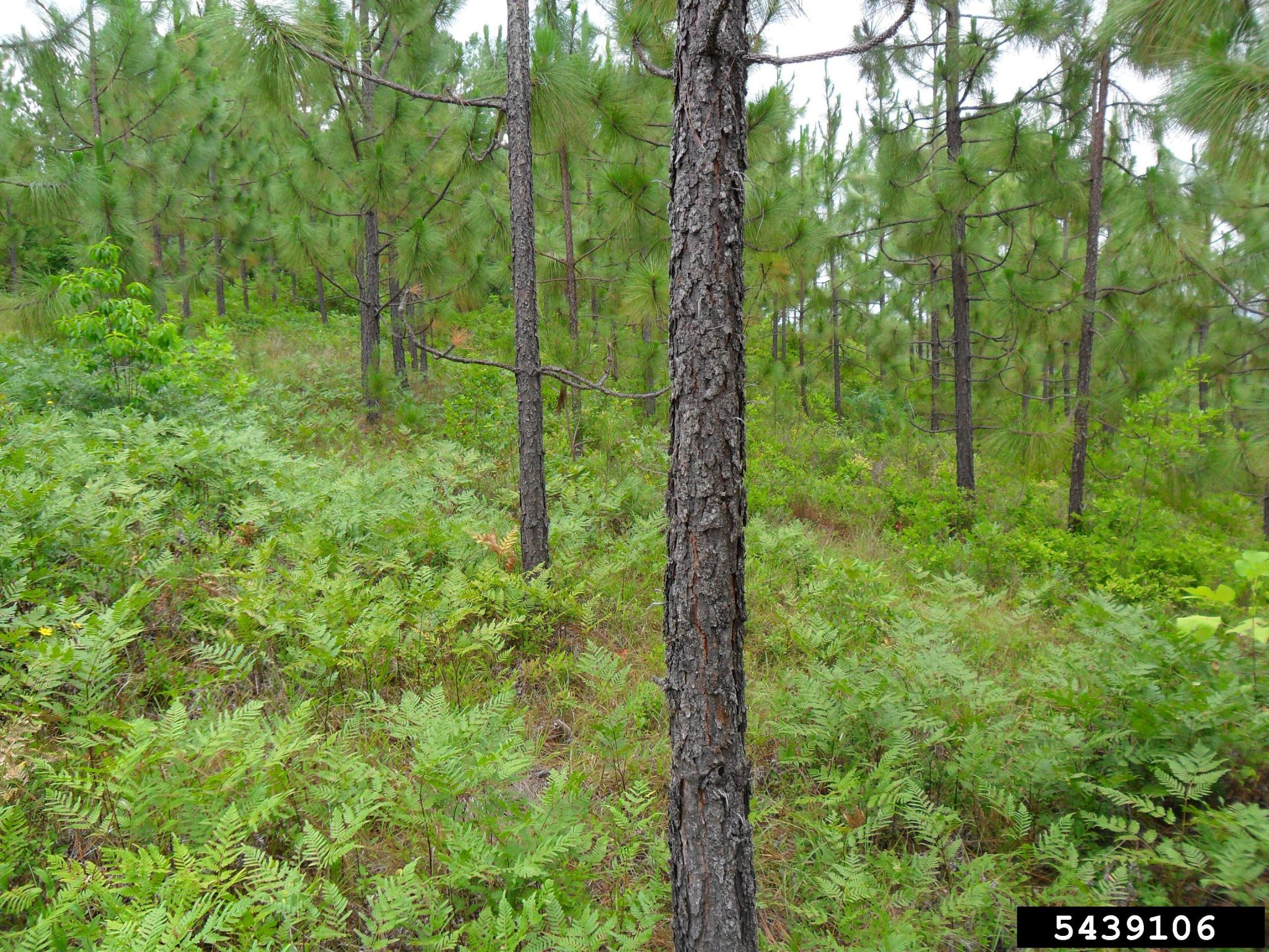 Longleaf Pine Trees in Forest - David Stephens, Bugwood.org