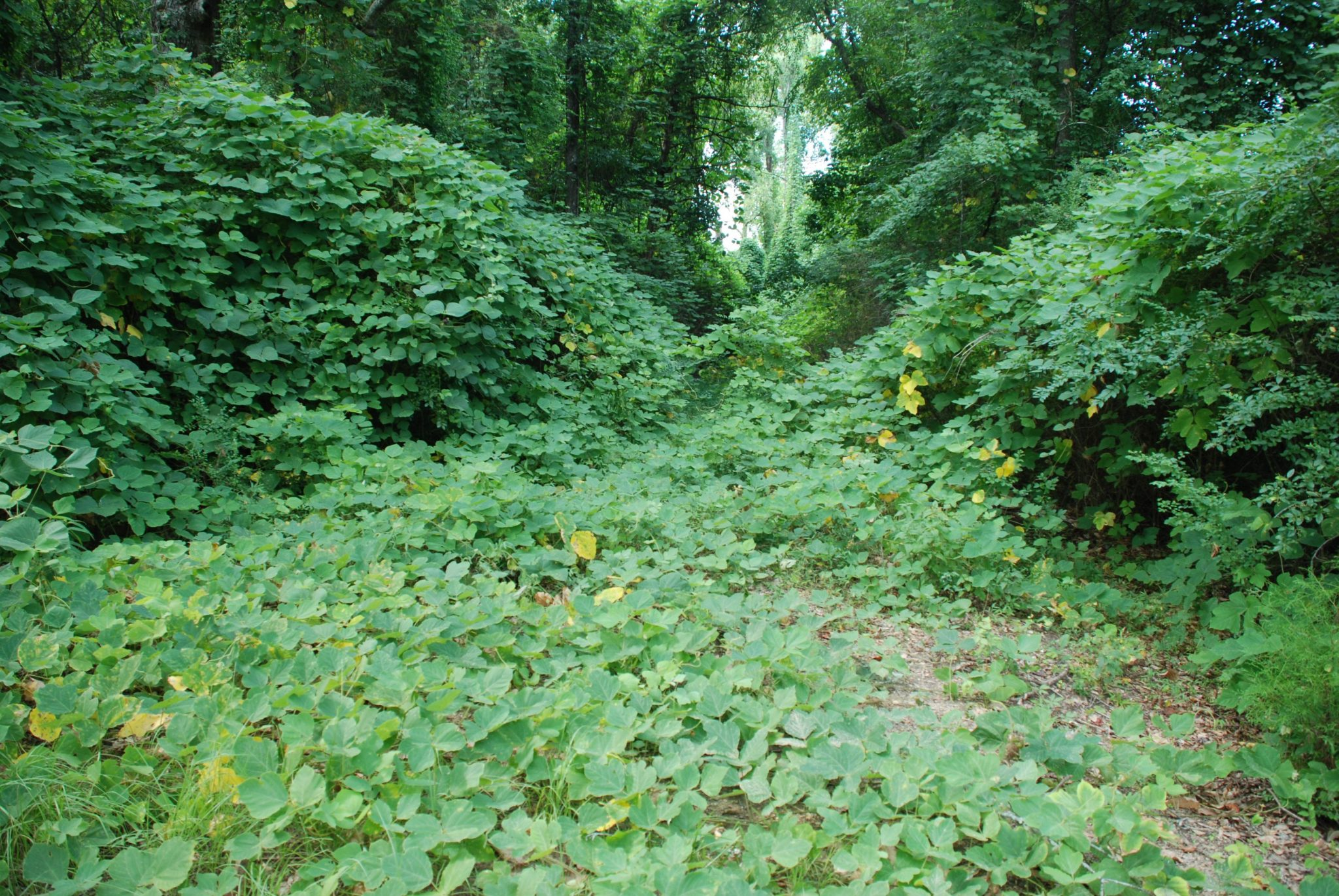 Kudzu infestations are often difficult to control.