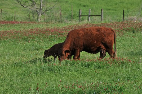 Cow-calf pairs grazing annual ryegrass and crimson clover