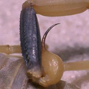 Figure 2. Hentz striped scorpion stinger (Photo: Greg Greer)