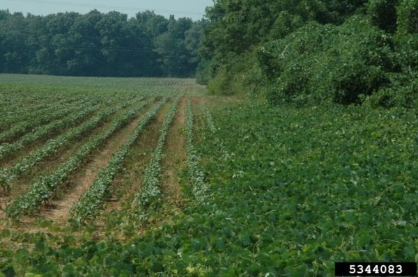 Controlling kudzu growing near soybean fields can be a challenge. (Photo credit: David Moorhead, University of Georgia. Bugwood.org)