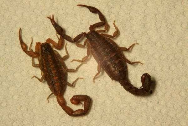 Hentz striped scorpion (left) and southern unstriped scorpion (Photo: Greg Greer)