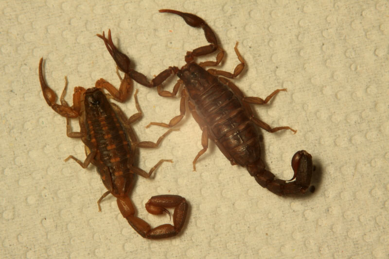 Scorpion Management in Residential Homes - Alabama