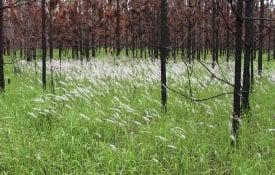 Field of cogongrass