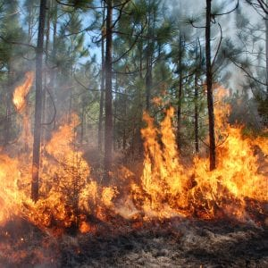 Fig. 1. Cogongrass fires burn extremely hot.