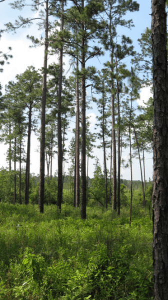 Figure 3. Regenerating longleaf pine naturally requires preparing the site to control understory.