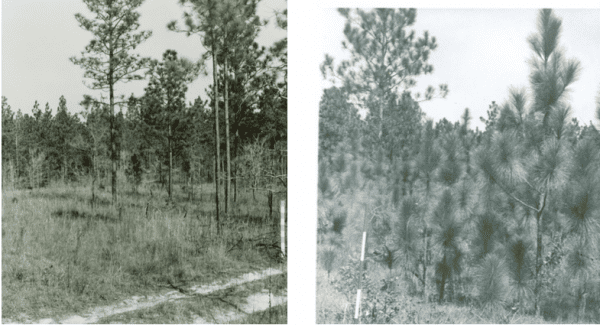 Figure 4. Farm 40 on the Escambia Experimental Forest near Brewton, Alabama, in 1952 (left) and in 1962 (right). These pictures were taken from the same spot; note range poles. The picture on the left shows how longleaf will seed into gaps in the canopy and how seedlings in the grass stage can respond when the overstory is removed. (Photo credit: USDA Forest Service, Escambia Experimental Forest Archives)