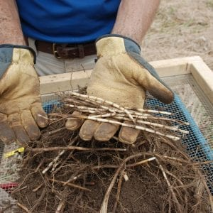 Fig. 2. Cogongrass rhizomes account for roughly 60 percent of plant biomass.