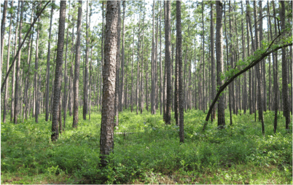 Figure 5. And this is the same forest today! Uneven-aged management of longleaf pine allows landowners to generate timber revenue from their forest approximately every 7 to 12 years because mature timber is always present. (Photo credit: John Kush)