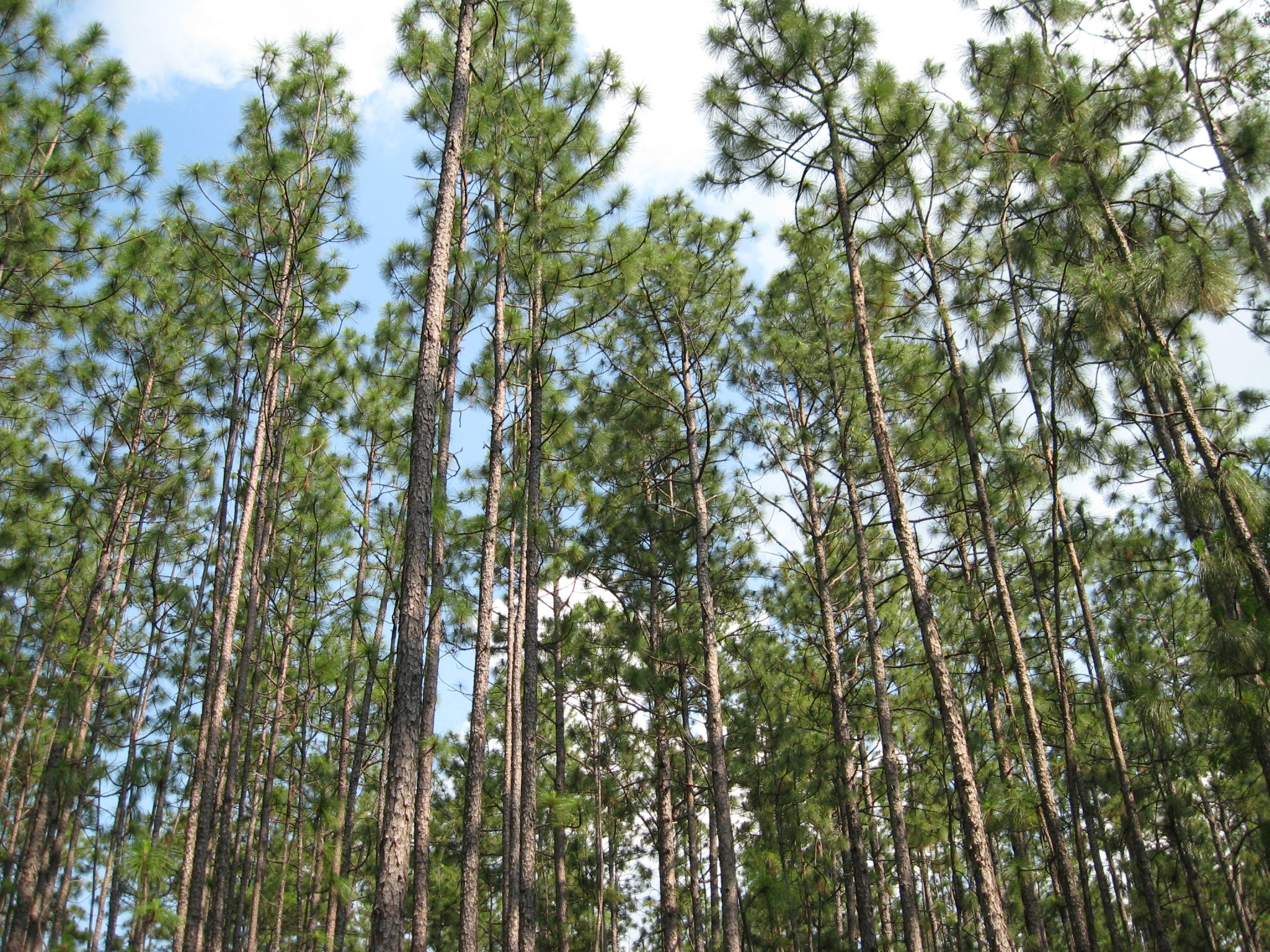 Figure 1. Landowners often overlook the option of uneven-aged management of longleaf pine because they think it is too complicated.