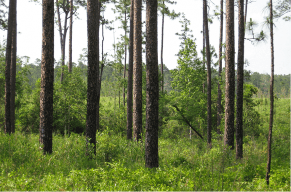 Figure 6. Landowners looking for more than just timber revenues may benefit from uneven-aged management of longleaf pine.