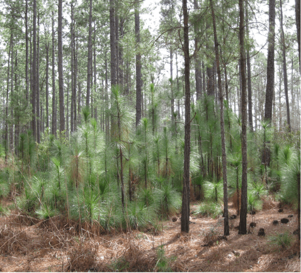 Figure 7. Group selection harvests remove small groups of mature trees across the forest. This creates gaps in the forest canopy and allows for regeneration of longleaf pine.