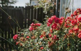 Rambling Roses in a Domestic Garden