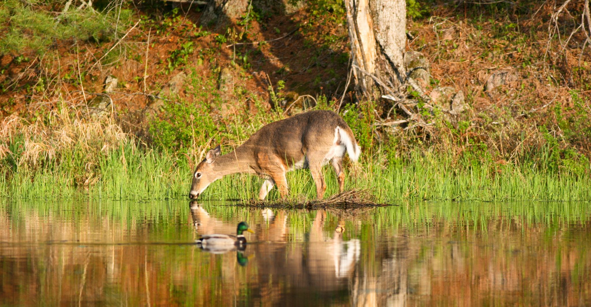 A white-tailed deer and a mallard at a pond in the early morning