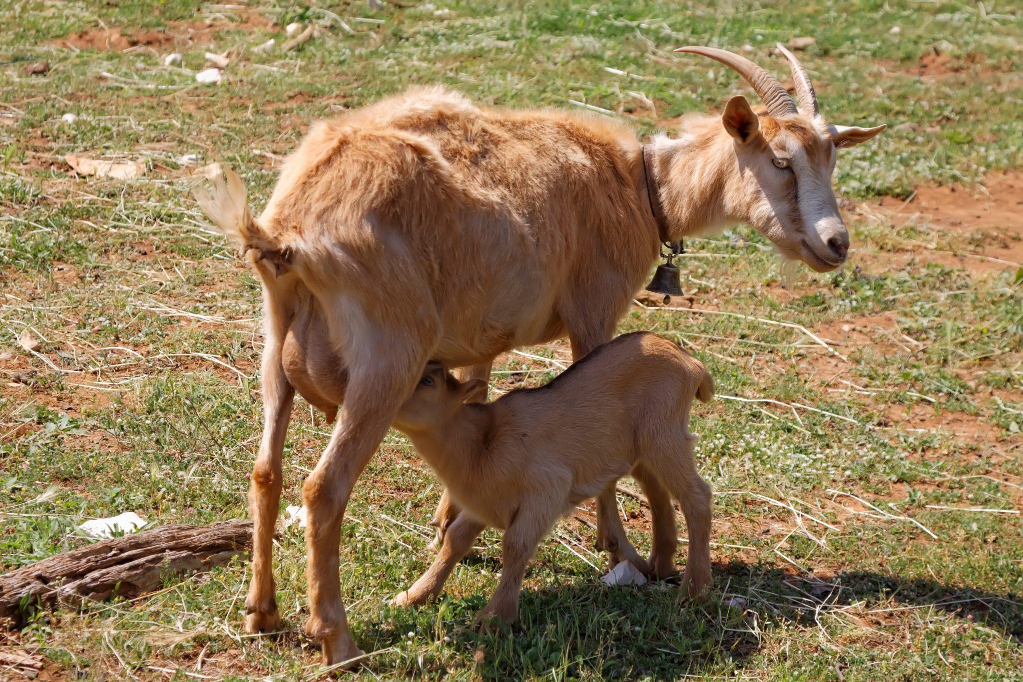 mother goat feeding baby goat