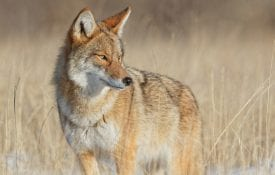 Western coyote.