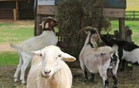 Four goats eating hay in a farmyard on a farm.