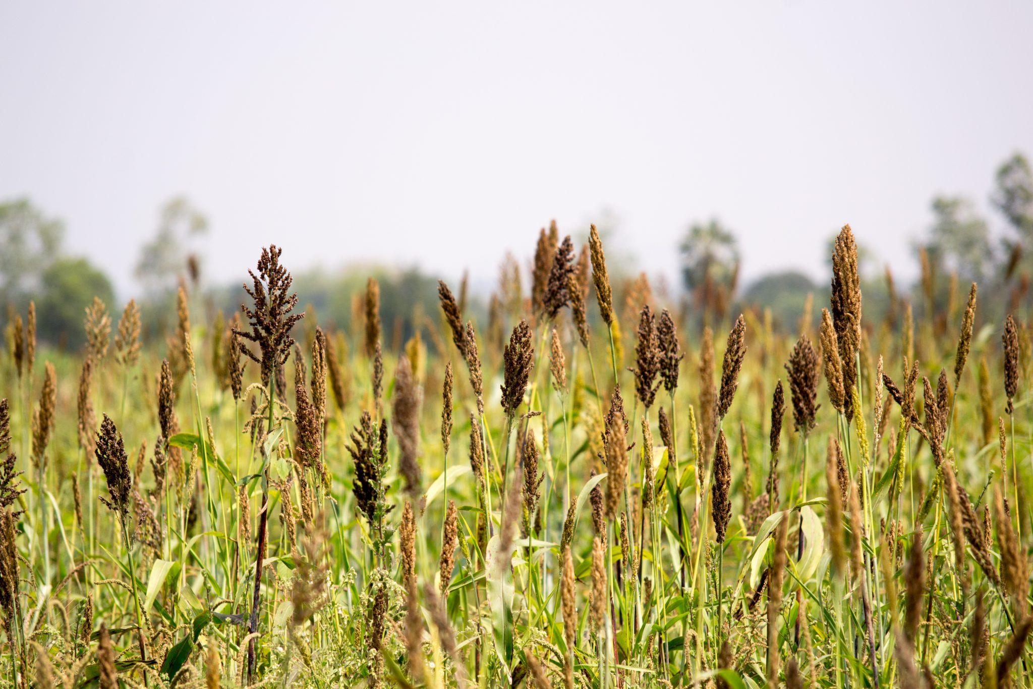 millet farmland