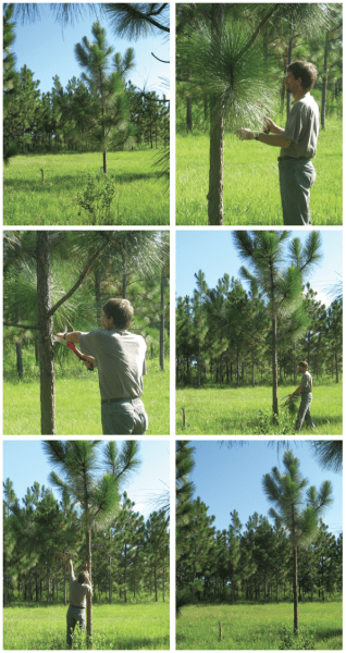 Pruning Older Longleaf pine