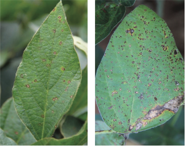 Frogeye Leaf Spot of Soybeans - Alabama Cooperative