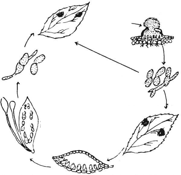 Life Cycle of Black Spot Disease
