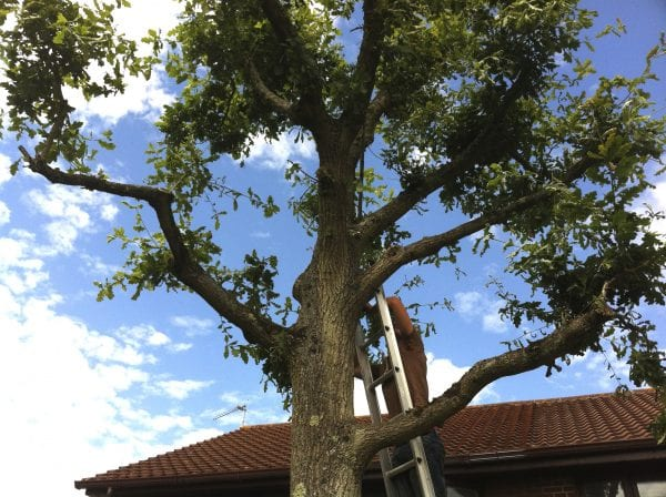 Image of tree surgeon pruning oak in the summer