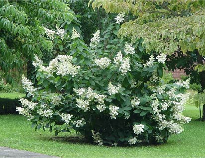 Panicle hydrangea 'Tardiva'