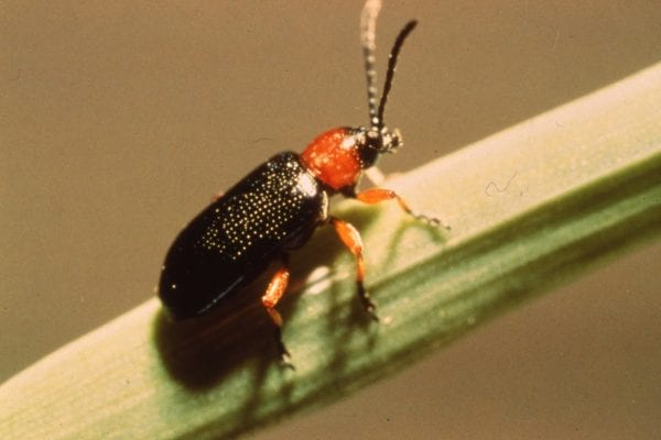 Cereal leaf beetle adult