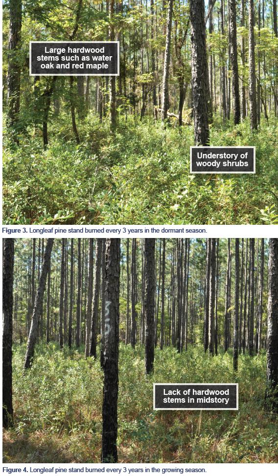 Figure 3. Longleaf pine stand burned every 3 years in the dormant season. Figure 4. Longleaf pine stand burned every 3 years in the growing season.
