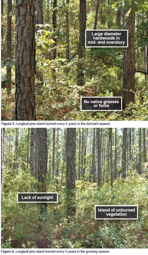 Figure 5. Longleaf pine stand burned every 5 years in the dormant season. Figure 6. Longleaf pine stand burned every 5 years in the growing season.