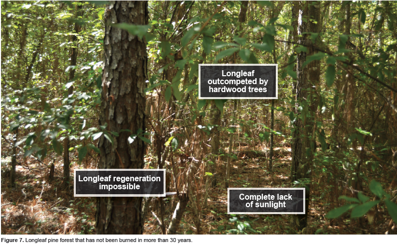 Figure 7. Longleaf pine forest that has not been burned in more than 30 years.