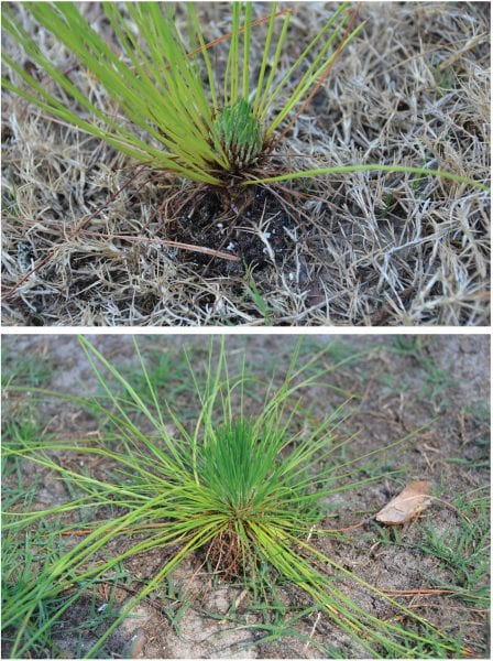 Longleaf Pine in grass stage