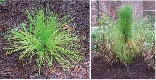 """Longleaf pines add texture and interest to urban landscapes during all stages of development. """"Grass stage"""" longleaf can provide texture contrasts at the ground level for many years. As they age, """"bolting"""" longleaf add to the vertical structure of a landscape design."""
