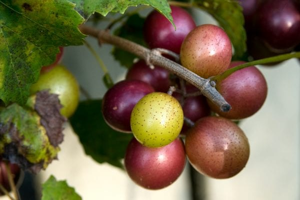 Figure 3. Muscadine grapes are among the Alabama-grown crops popular with breweries, wineries, and distilleries.
