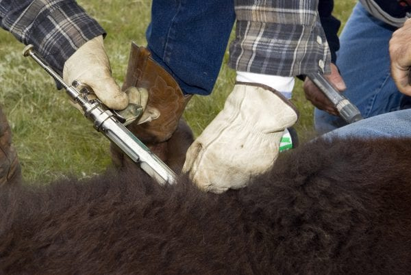 A close up of a farmer giving a calf an injection.""
