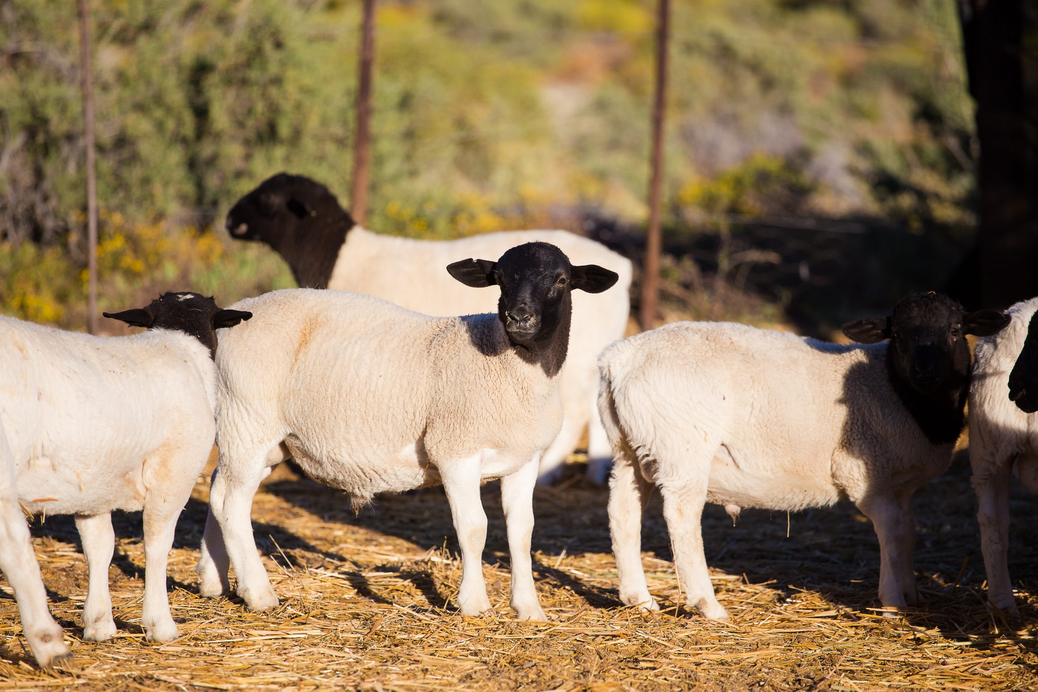 Hair Sheep for Small-Scale Farming - Urban Extension