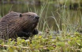 Beaver in Habitat