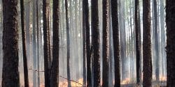 Longleaf Pine Stand Prescribed Fire