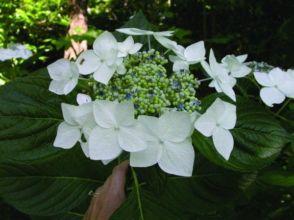 Bigleaf hydrangea 'Lanarth White'