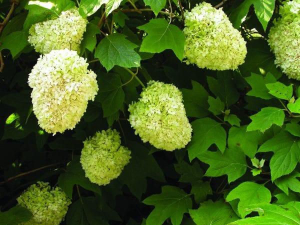 Oakleaf hydrangea 'Harmony'