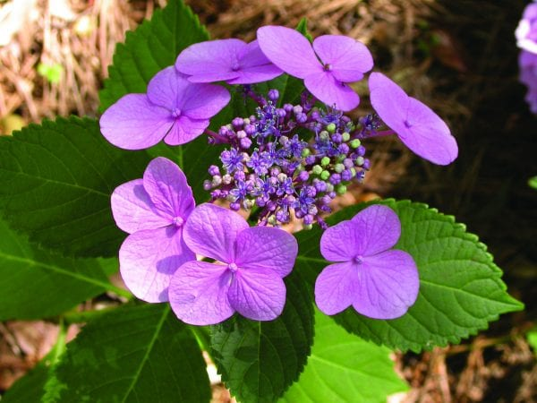 Bigleaf hydrangea 'Blue Wave' (high pH)