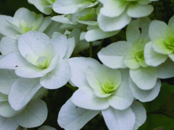Oakleaf hydrangea 'Snowflake'