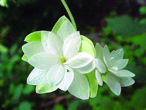 Smooth hydrangea 'Hayes Starburst'